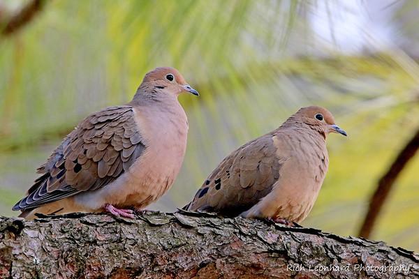 Pair of Mourning Doves in Clark Botanic Garden.