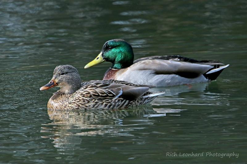 Pair of Mallard Ducks at Clark Botanic Garden.