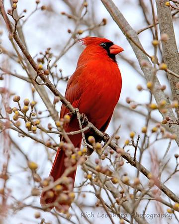 Male Cardinal at Clark Botanic Garden, NY.