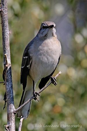 Mocking Bird at Clark Botanic Garden, NY.