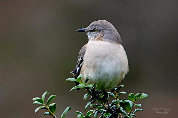 Mocking Bird in Clark Botanic Garden, NY.