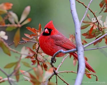 Cardinal at Clark Botanic Garden.