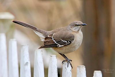 Mockingbird at Clark Botanic Garden.