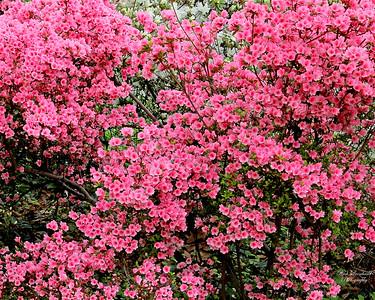 Beautiful pink flowered bush at Clark Botanic Garden.