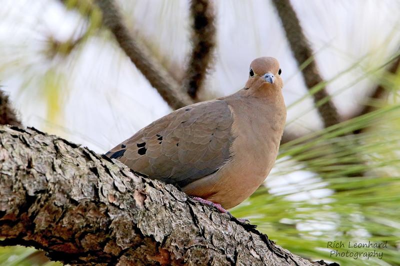 Mourning Dove in Clark Botanic Garden.