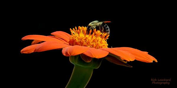 Bumblebee on flower in Clark Botanic Garden, NY.