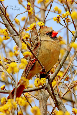 Female Cardinal at Clark Botanic Garden.
