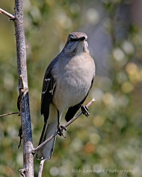 Mocking Bird at Clark Botanic Garden, NY.