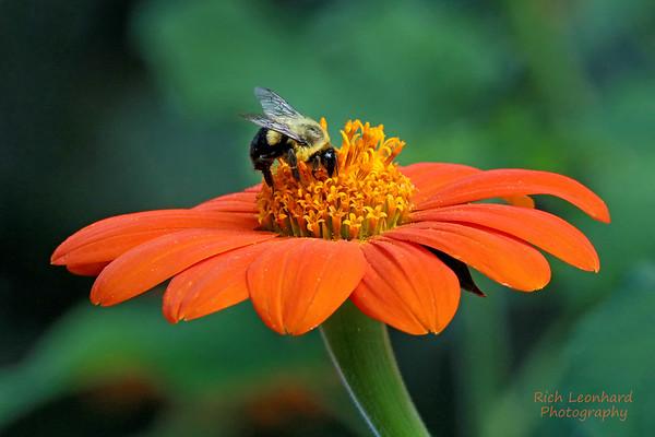 Bumblebee on flower at Clark Botanic Garden, NY.