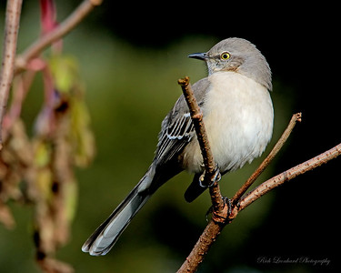 Mocking Bird at Clark Botanic Garden.