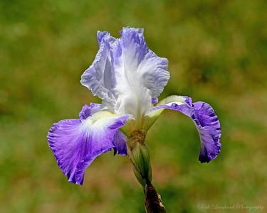 Iris at Clark Botanic Garden.