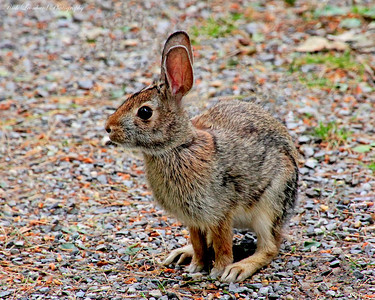 Bunny Rabbit at Clark Botanic Garden.