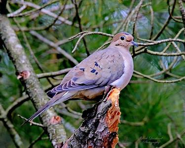 Mourning Dove at Clark Botanic Garden.