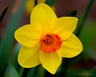 Daffodil at Clark Botanic Garden.