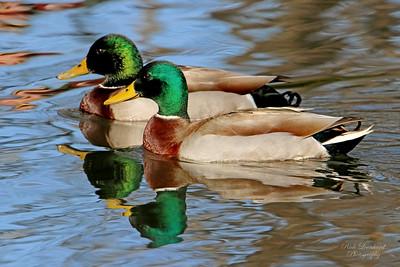 Mallard Ducks at Clark Botanic Garden.