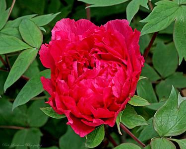 Pionese flower at Clark Botanic Garden.