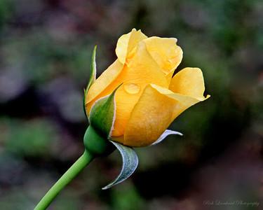 Beautiful yellow Rose at Clark Botanic Garden.