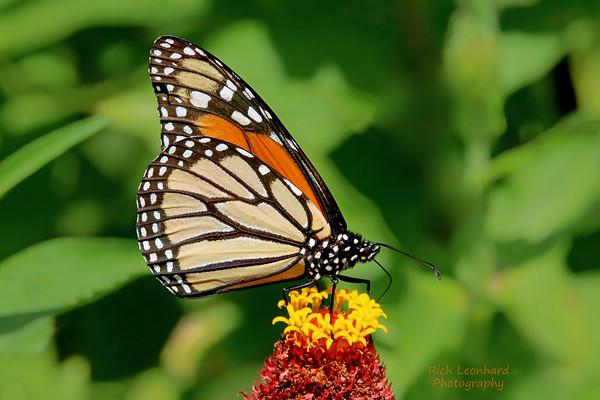 Monarch Butterfly at Clark Botanic Garden, NY.