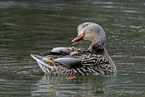 Female Mallard Duck preening at Clark Botanic Garden.