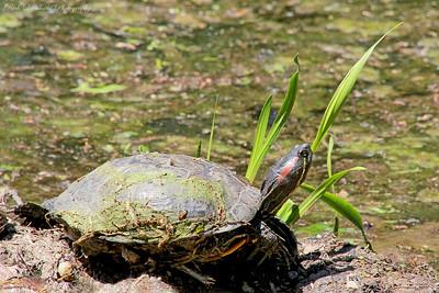 Turtle at Clark Botanic garden.