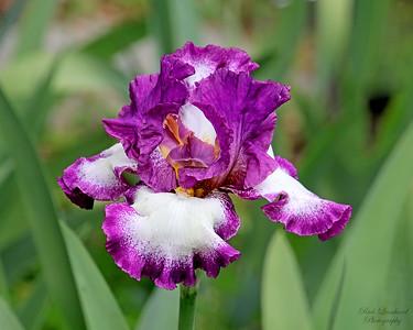 Beautiful Iris at Clark Botanic Garden.