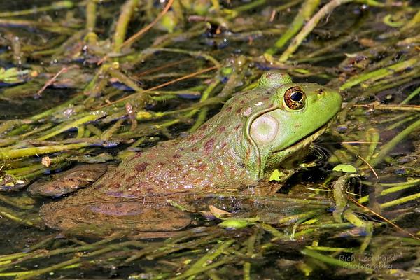 Frog at Clark Botanic Garden, NY.
