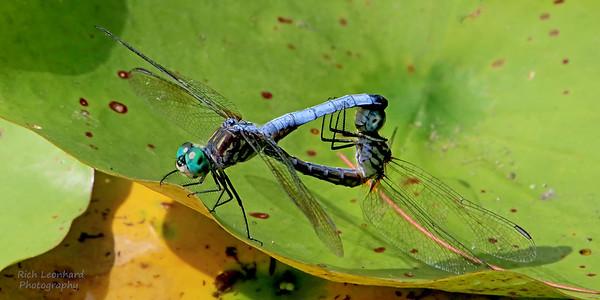 Dragonflies mating at Clark Botanic Garden, NY.