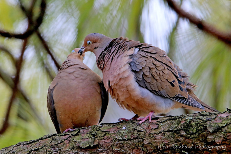 Mourning Doves kissing at Clark Botanic Garden.