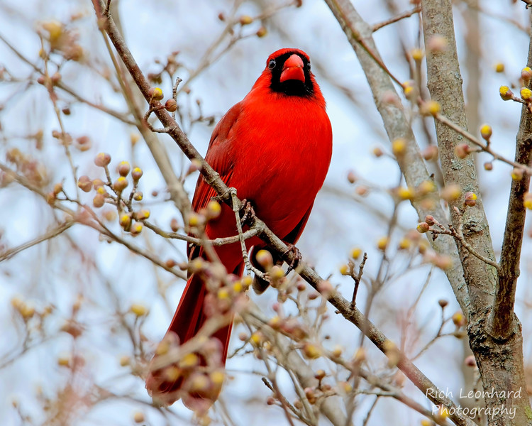 Male Cardinal in Clark Botanic Garden, NY.