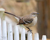 Mockingbird at Clark Botanic Garden.