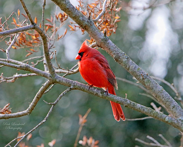 Beautiful Cardinal At Clark Botanic Garden.