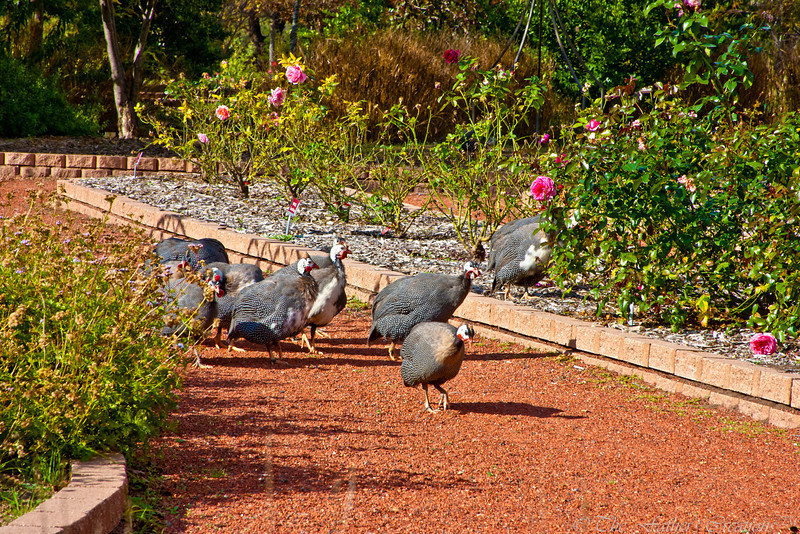 The Guineas...The Clark Gardens' Busybodies!