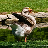 The Grand Old Man...Grandfather Goose!