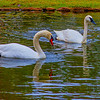 Houdini (Muted Swan) and Doc (Trumpeter Swan)