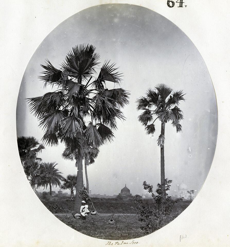 The Palm Tree 1859-60