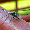 A blue dasher dragonfly perched obligingly for a photo.
