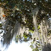 Spanish moss hanging from a large magnolia tree.