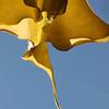 100mm, f/14, 1/50 sec...Trumpet Flower