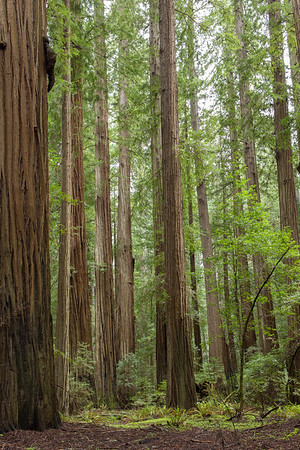 Old Growth Redwood Stand