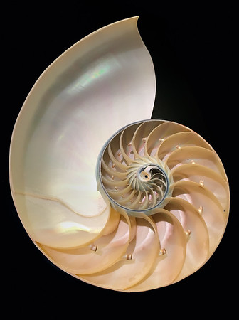 Nautilus Shell 8x10      Metallic Photo Paper, Floating Frame		$ 48