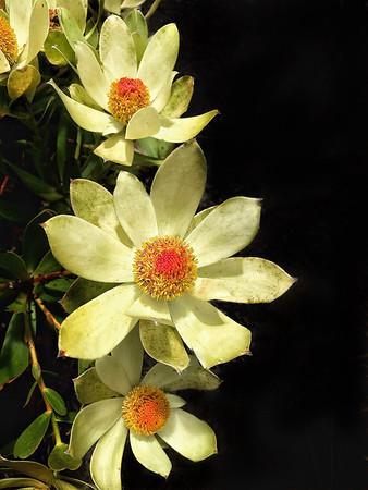 "Protea (Leucadendron, ""Cloudbank Ginny"") 5x7     Fuji Deep Matte, Floating Frame$ 38"