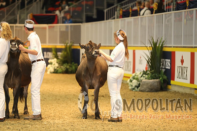 Classic 4-H Jersey Yearling 15