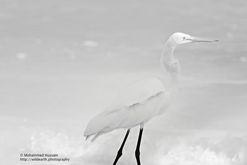 White Egret ~ Sanibel Island, FL
