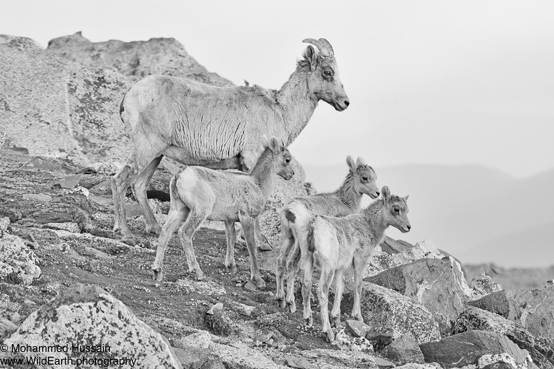 Rocky Mountain Sheep Family - Mount Evans Wilderness, CO