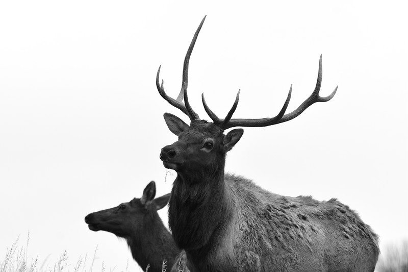 Bull Elk and a cow