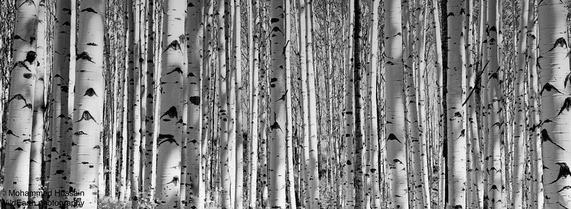Silver Aspen- McClure Pass, Near Marble, CO