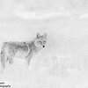 Coyote - Rocky Mountain Arsenal Wildlife Refuge, CO