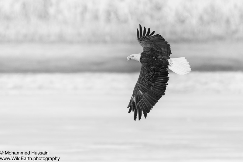 Flying Bald Eagle Over Rocky Mountain Wildlife Refuge, CO