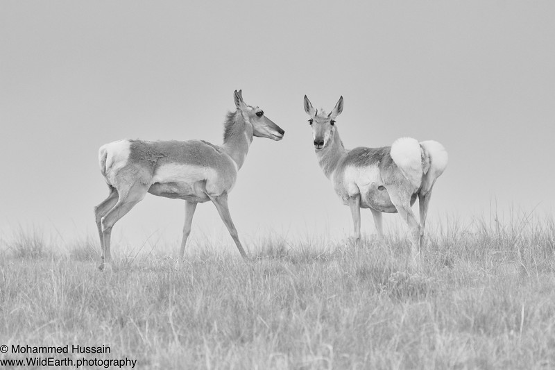Pronghorns - Bennett, CO