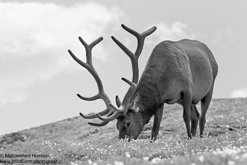 Elk - Trail Ridge Road, RMNP, CO